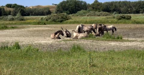 Koninkpaarden nemen zandbad