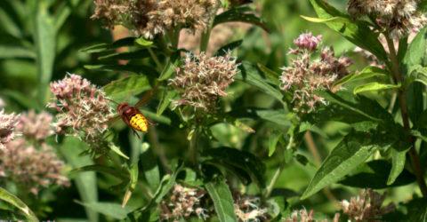 koninginnekruid met hoornaar