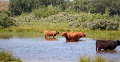 Schotse Hooglanders zoeken verkoeling