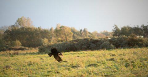 zwarte kraai met spreeuw