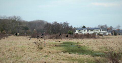 bonte kraai en zwarte kraaien in vlucht