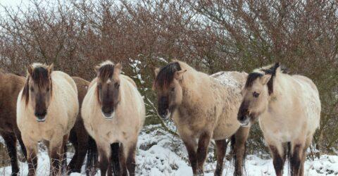 paarden in de dekking van duindoornstruiken